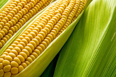 Cob and leaves background Royalty Free Stock Photo