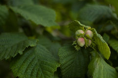 Cob Nuts on a Hazel Tree in Summer Stock Images