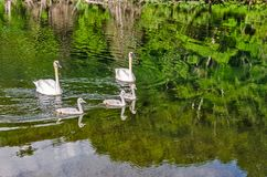 Cob, Pen, and Cygnets. Cob and pen taking cygnets out for a swim on a sunny summer day stock photos