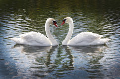 Cob and Pen Swans Royalty Free Stock Photography