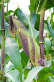 Cob purple fresh corn on the stalk, ready for harvest, purple corn in field agriculture. Corn cobs on stalks in farm field Royalty Free Stock Images