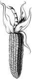 Cob of ripe corn. Cob of ripe corn in white background Stock Images