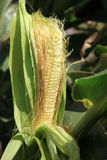 Cob on stalk. Stock Photography