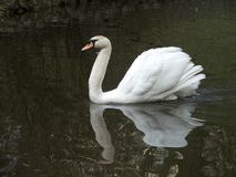 Cob-swan Royalty Free Stock Image
