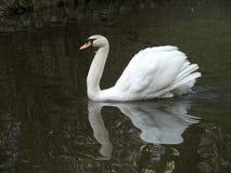 Cob-swan. Swan Royalty Free Stock Image