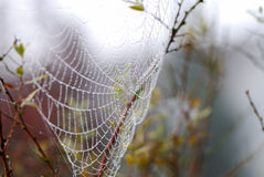 Cob web. In the morning dew with drops like pearls royalty free stock photos