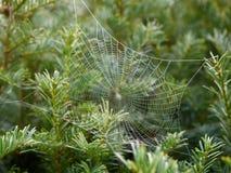Cob web with dew Stock Photo