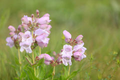 Cobaea Beardtongue Fotografia de Stock Royalty Free