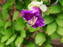 Cobaea-scandens Blumennahaufnahme Lizenzfreie Stockfotografie