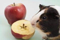 Cobaia branca, marrom e preta com maçã fotografia de stock royalty free