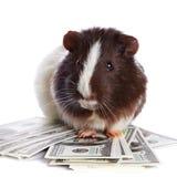 Cobaia e dólares Foto de Stock Royalty Free