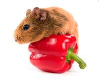A cobaia e uma pimenta vermelha Fotografia de Stock