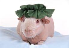 Cobaia no chapéu Imagens de Stock Royalty Free