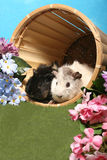 Cobaias em uma cesta Fotografia de Stock