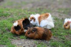 Cobaias pequenas no prado Foto de Stock Royalty Free