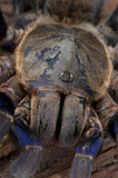 Cobalt Blue Tarantula Stock Photo