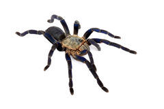 Cobalt Blue Tarantula. Stock Photography