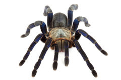 Cobalt Blue Tarantula. Cobalt Blue Tarantula (Haplopelma lividum). This tarantula is fast and somewhat skittish. Some specimens have a beautiful and vibrant Stock Images