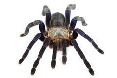 Cobalt Blue Tarantula. Stock Images