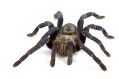 Cobalt Blue Tarantula Royalty Free Stock Images