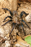 Cobalt Blue Tarantula (Haplopelma lividum). This tarantula is fast and somewhat skittish. Some specimens have a beautiful and vibrant blue appearance Royalty Free Stock Photo