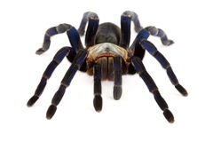 Cobalt Blue Tarantula (Haplopelma lividum). This tarantula is fast and somewhat skittish. Some specimens have a beautiful and vibrant blue appearance Stock Image