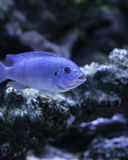 Cobalt Blue Zebra African Cichlid Stock Photography