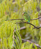Cobalt-winged Parakeet. The Cobalt-Winged Parakeet (Brotogeris cyanoptera) is among the tiniest parrot species stock images