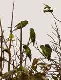 Cobalt-winged Parakeets Royalty Free Stock Images