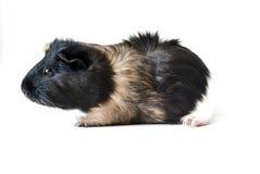 Cobaye d'animal familier sur le fond blanc Photos libres de droits
