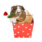 Cobaye dans la boîte de coeur tenant Rose Photo libre de droits