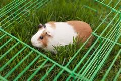 Cobaye drôle mangeant l'herbe dans le jardin dehors photographie stock libre de droits