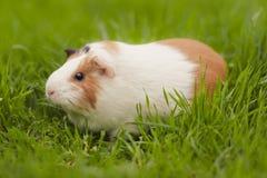 Cobaye drôle mangeant l'herbe dans le jardin dehors photos libres de droits