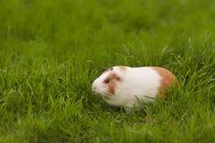 Cobaye drôle mangeant l'herbe dans le jardin dehors images stock