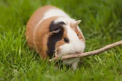 Cobaye drôle mangeant l'herbe dans le jardin dehors photos stock