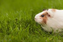 Cobaye drôle mangeant l'herbe dans le jardin dehors images libres de droits