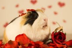 Cobaye le jour du ` s de Valentine Image libre de droits