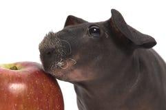 Cobaye maigre avec la pomme Photographie stock