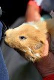 Cobayes à vendre sur le marché animal, Equateur Photo stock