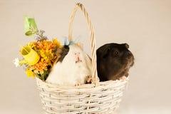 Cobayes Joyeuses Pâques avec des oeufs Photo libre de droits