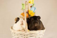 Cobayes Joyeuses Pâques avec des oeufs Photo stock
