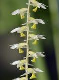Cobb Dendrochilum orchidea Obrazy Royalty Free