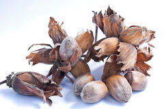 Cobb Nuts. On the stalk and in their husks isolated against a white background Royalty Free Stock Photography