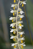 Cobb's Dendrochilum Orchid Royalty Free Stock Photos