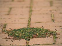 Cobbled pavement with a bunch of grass. Stone sidewalk in variation  with a green grass Royalty Free Stock Image