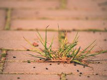 Cobbled Pflasterung mit einem Bündel Gras Steinbürgersteig in der Veränderung mit einem grünen Gras Lizenzfreies Stockfoto
