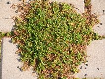 Cobbled Pflasterung mit einem Bündel Gras Steinbürgersteig in der Veränderung mit einem grünen Gras Lizenzfreies Stockbild