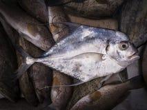 Cobblerfish 库存照片