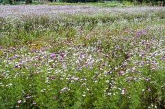 Coberto com a flor do bipinnata do cosmos da grama Foto de Stock