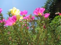 Cobertura do purslane das flores imagens de stock royalty free